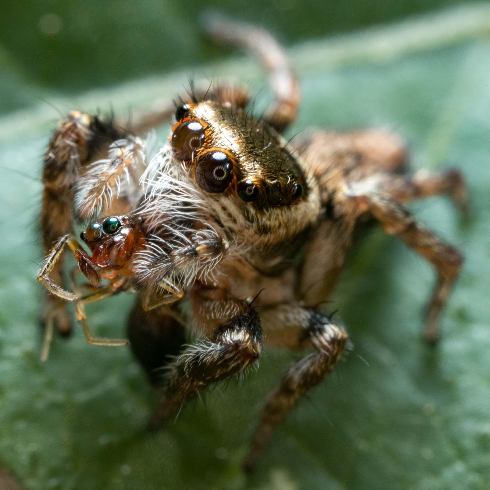 食事中のハエトリグモ