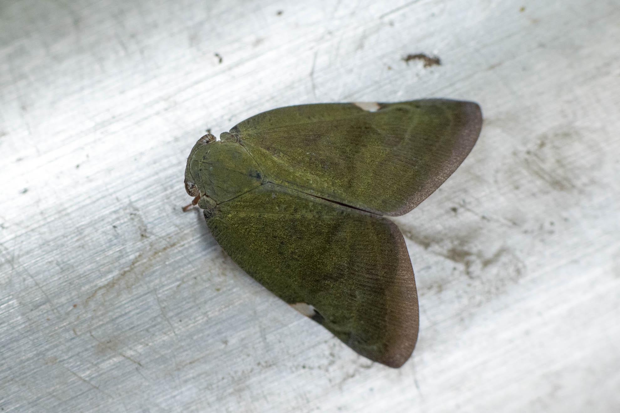 アミガサハゴロモの成虫