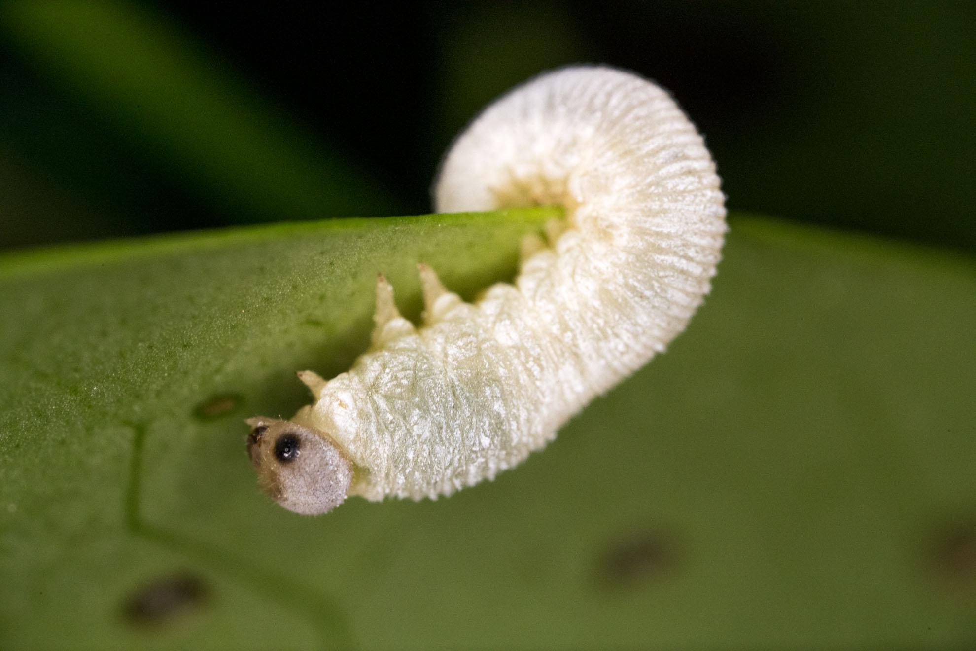 ハバチ系の幼虫