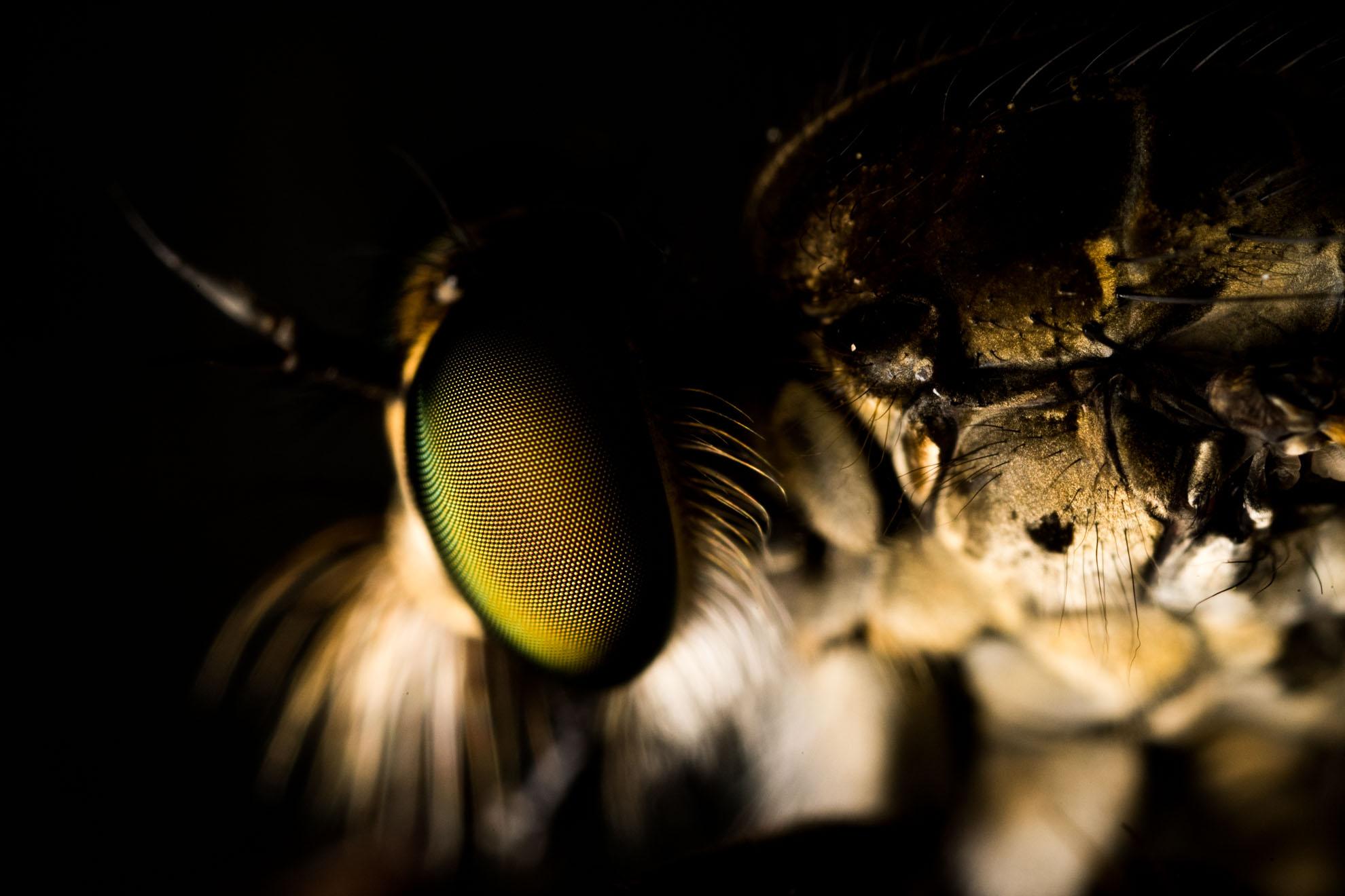 マガリケムシヒキの頭部