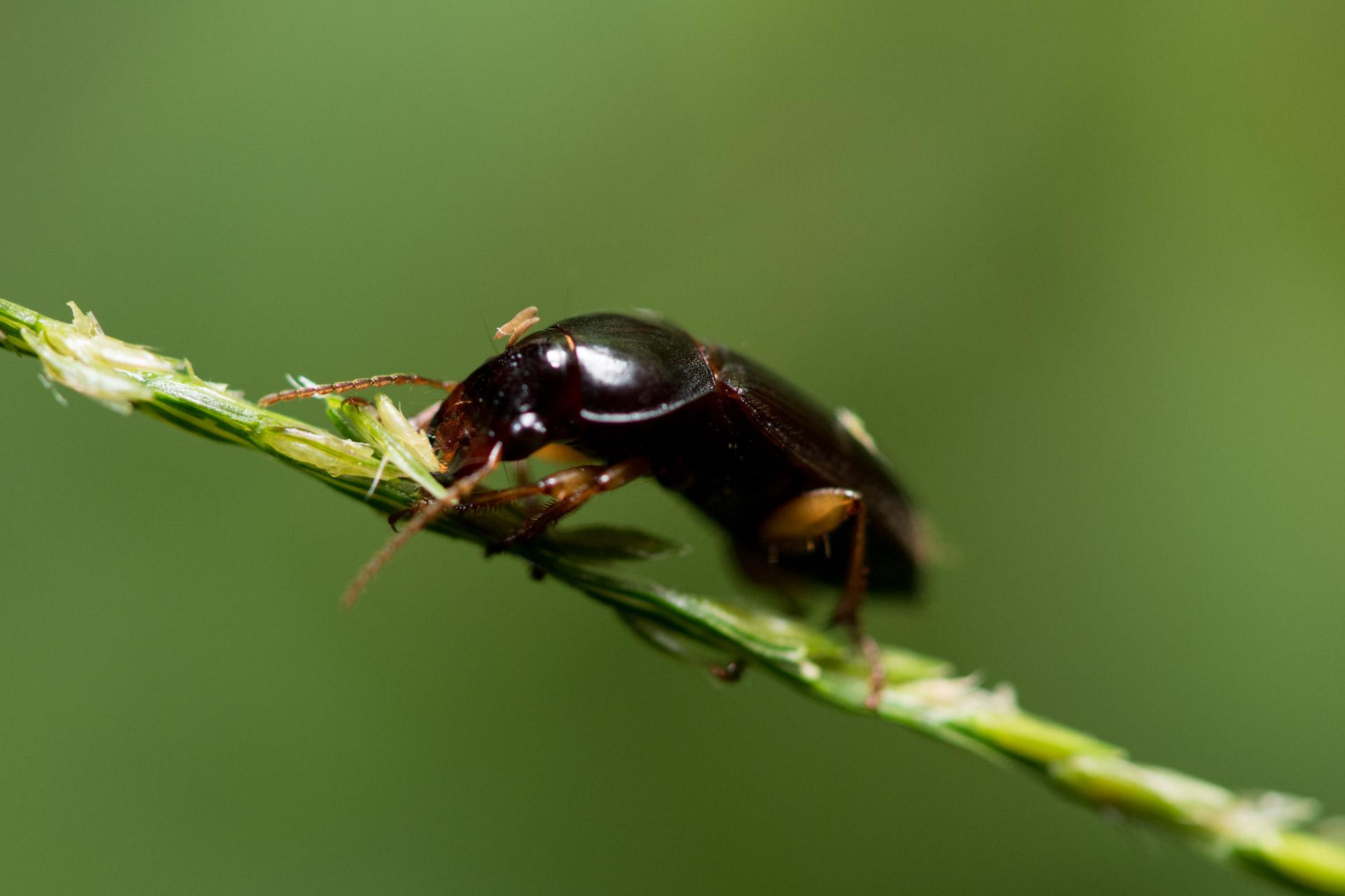 不明な甲虫
